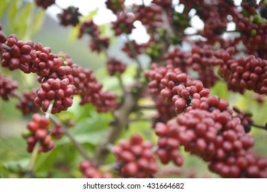Coffee farming, mature plantation in state of Espirito Santo, Brazil