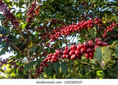 Coffee field in São Paulo State, Brazil