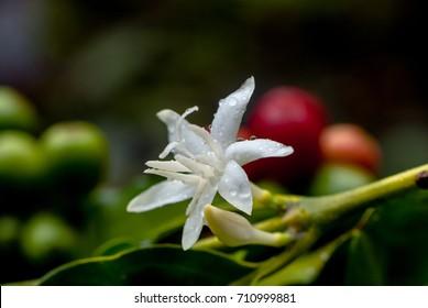 Coffee flower,