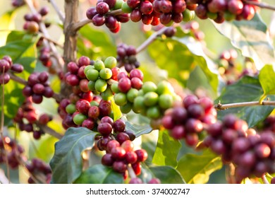 Coffee fresh is ripening on the tree.