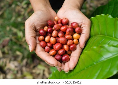 Coffee fruit harvested in farmer hand