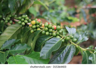 Coffee fruit in Northern Vietnam