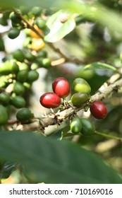 Coffee fruits being ripe, Tlahap Village, Temanggung, Indonesia - 2014. Coffee is a common commodity found on the slopes of Mt. Sindoro, Central Java in addition to tobacco.