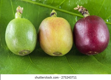 Coffee fruits at different stages of mature on the leaf close up