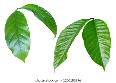Coffee Green Leaves Isolated on White Background