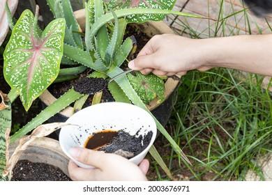 Des aires de café sont ajoutées à la plante alovera en tant qu'engrais organique naturel riche en azote pour la croissance