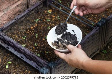 Des aires de café sont ajoutées à la plante pour bébés en tant qu'engrais organique naturel riche en azote pour la croissance