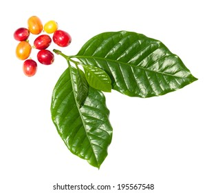 Coffee leaf with berrys on white background. Clipping path is included