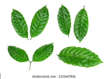 coffee leaf with drop of water isolated on white background