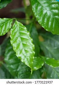 """Coffee leaf named """"Lisa Arabica"""""""