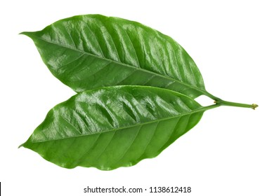 Coffee leaves green on white background.