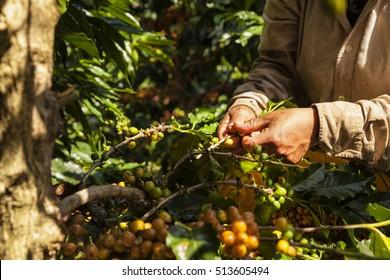 coffee picker