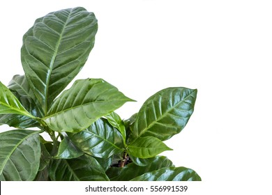 Coffee plant bush on white background with space for text