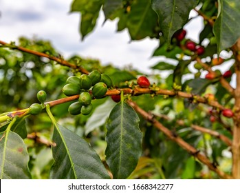 Coffee plant in Colombia, South America