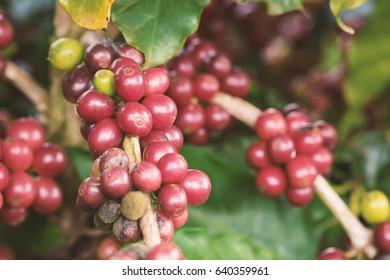 Coffee plant fruit in coffee farm