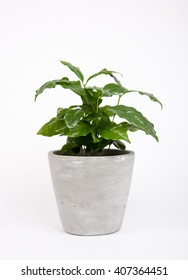 Coffee Plant in Gray Planter on White Background.