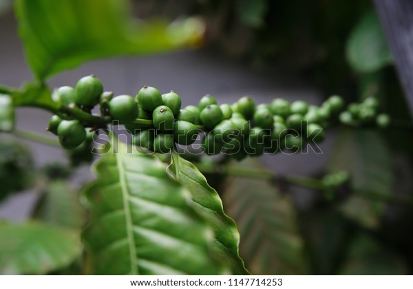 Coffee Plant. Green coffee beans on a branch of coffee tree Branch of a coffee tree with raw fruits