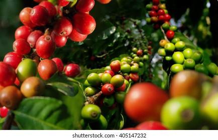 Coffee plant. Harvest ,