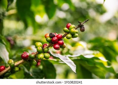 Coffee plant with ripe coffee cherries unpicked closeup