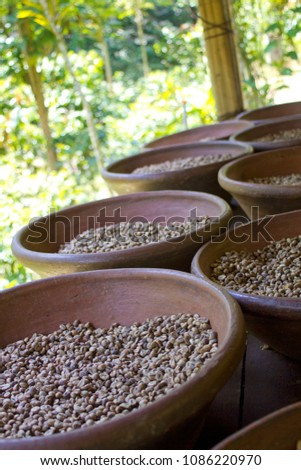 Coffee plantation in Bali Indonesia. Coffee beans