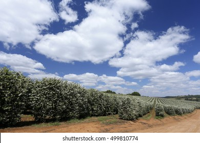 Coffee plantation with bloom on farm in Brazil