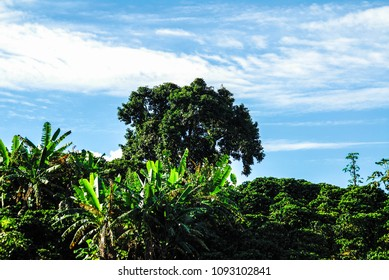 coffee plantation with blue sky