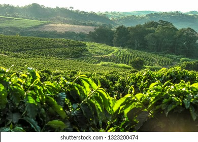 Coffee plantation in Brazil with a skyline with mountains in the background