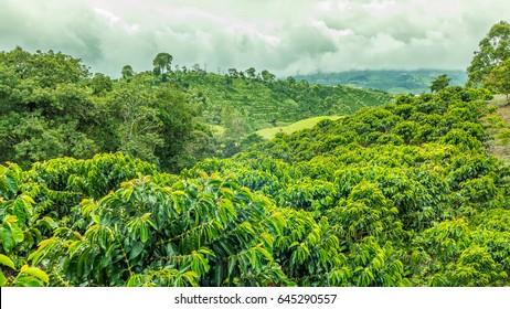 Coffee Plantation Colombia