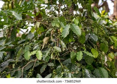 Coffee plantation in Cuba