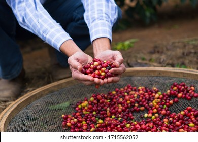 Coffee plantation in a farm