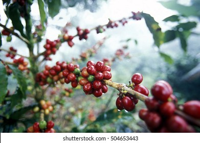 the coffee plantation in the forest of copan in honduras in central amerika