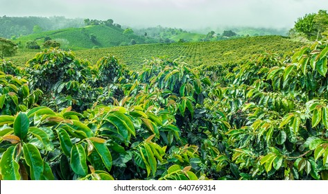 Coffee Plantation Jerico / Colombia