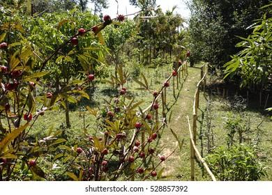 Coffee plantation, Laos.