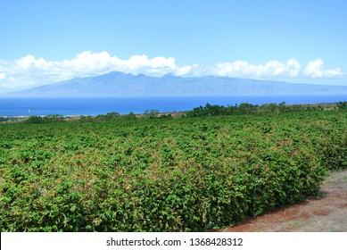 Coffee Plantation Maui Hawaii, View of Lanai