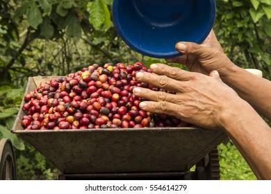 Coffee plantation in Mexico