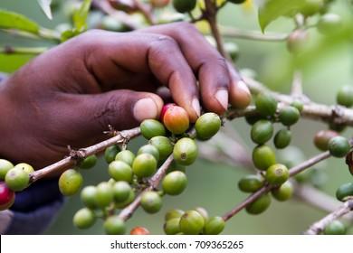 coffee plantation near kilimanjaro mount