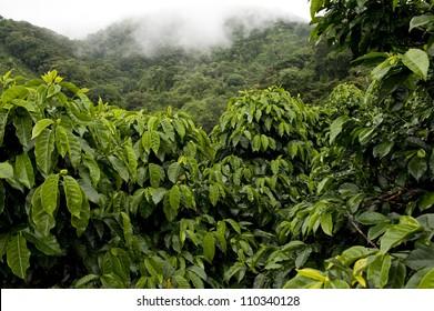 Coffee plantations in Finca Lerida, Boquete, Chiriqui province, Panama, Central America.