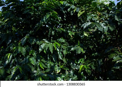Coffee plantations in Thailand