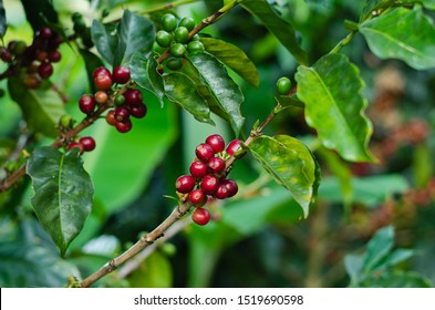 Coffee plants. Coffee harvest Branches with ripe coffee beans.