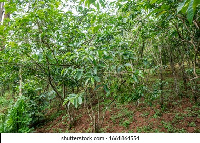 Coffee plants with immature green coffee cherries in southern Ethiopia