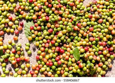 Coffee plants on a plantation near Las Terrazas, Cuba