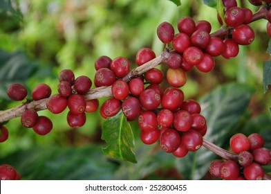 coffee seed in the garden