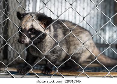 Asian Palm Civet Images, Stock Photos & Vectors   Shutterstock