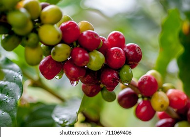 Coffee tree with coffee bean on cafe plantation.