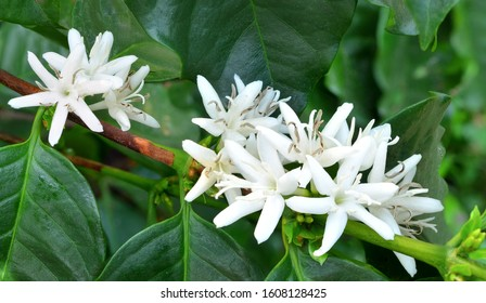 Coffee tree blossom with white color flowers