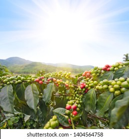 coffee tree with green ripe and unripe beans in sunlight