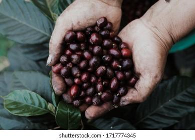 Coffee tree  / Coffee growing area / coffee cherry  in hand