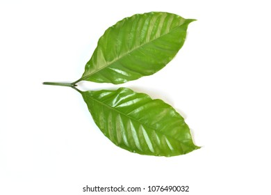 Coffee tree leaves isolated on white background