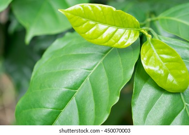 Coffee tree leaves on coffee tree.Leaf shoots of coffee.Young green sprout with leaf of coffee tree.