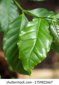 """Coffee tree named """"Lisa Arabica"""""""